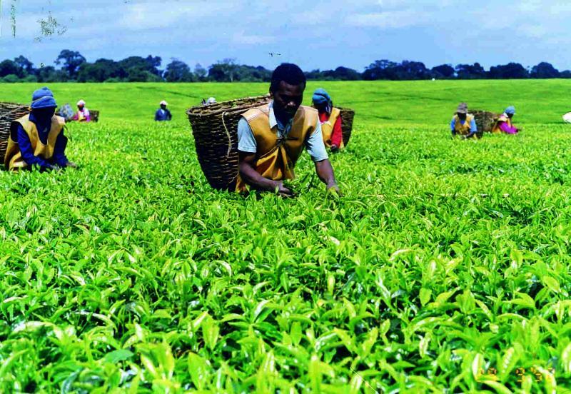 Limuru Tea Posts 11 Million Pre Tax Loss in HY 2020