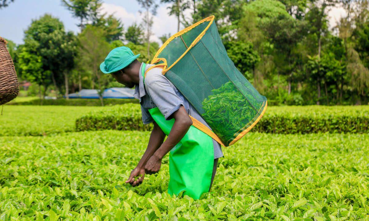 Tea Farmers Set to Receive Kes 28 Billion as Final Bonus Payment