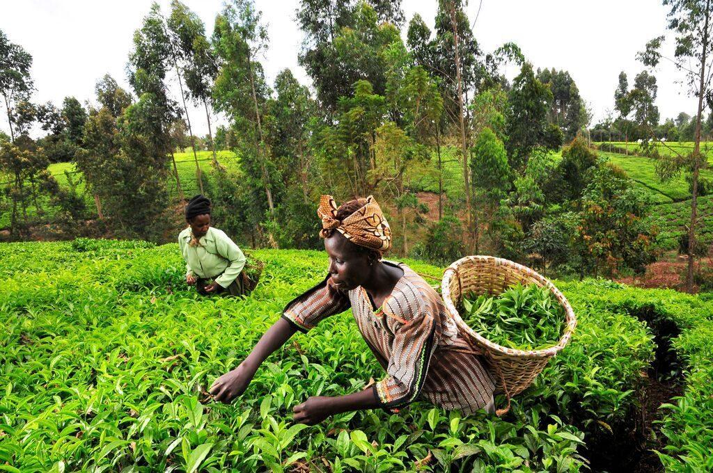 Kapochorua Tea Company Declares a Divided of Kes 10 Per Share For the FY 2020/1