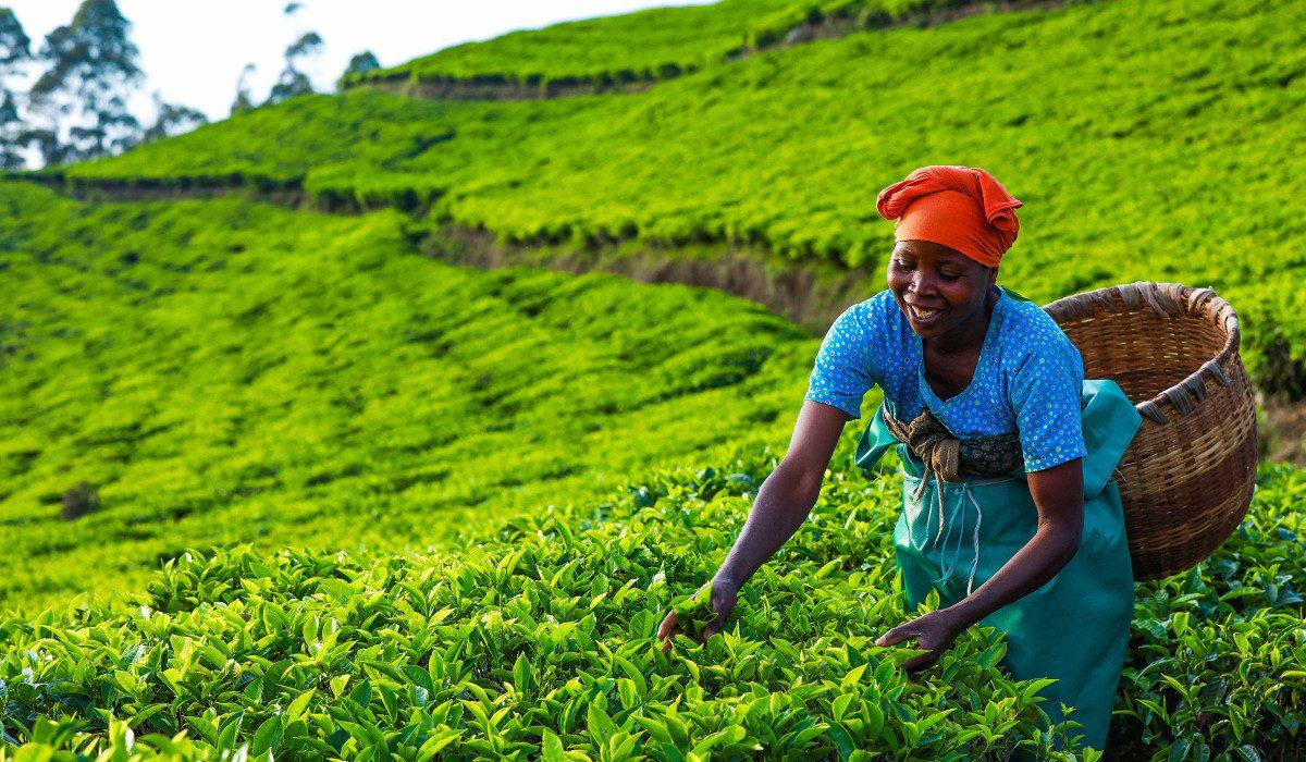Limuru Tea Posts 8% Decline in Revenue to Kes 47 Million HY2021